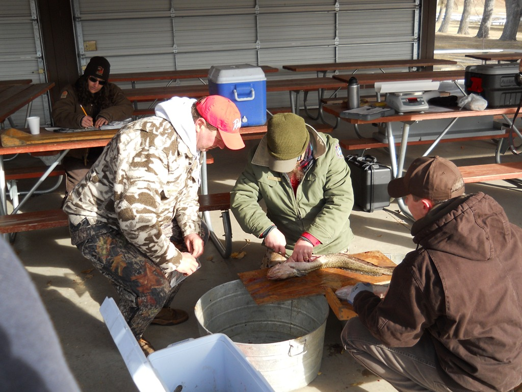 Wyoming Game and Fish and Utah DWR staff inspecct burbot at the check-in station prior to the closing ceremonies of the 2012 Burbot Bash