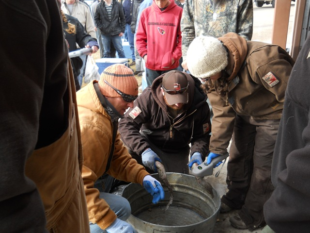 Photo of Utah DWR staff checking burbot for internal tags during the 2013 Burbot Bash
