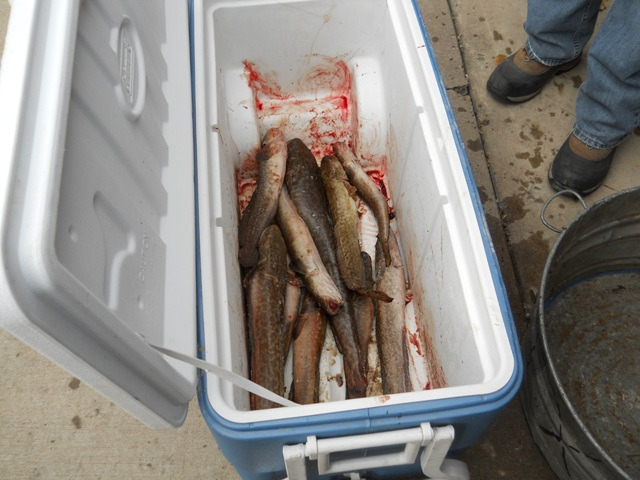 Photo of a cooler full of Burbot at the Check-in station for the 2013 Burbot Bash