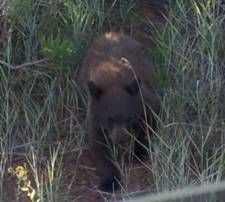 Bear Cub in Ashley National Forest