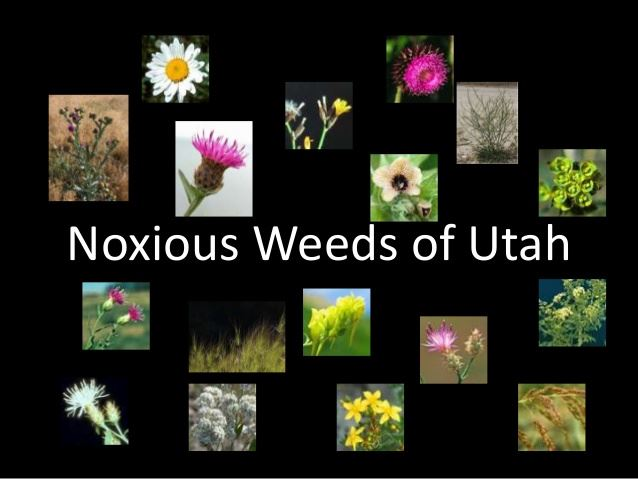 pictures of Noxious Weeds on black ground